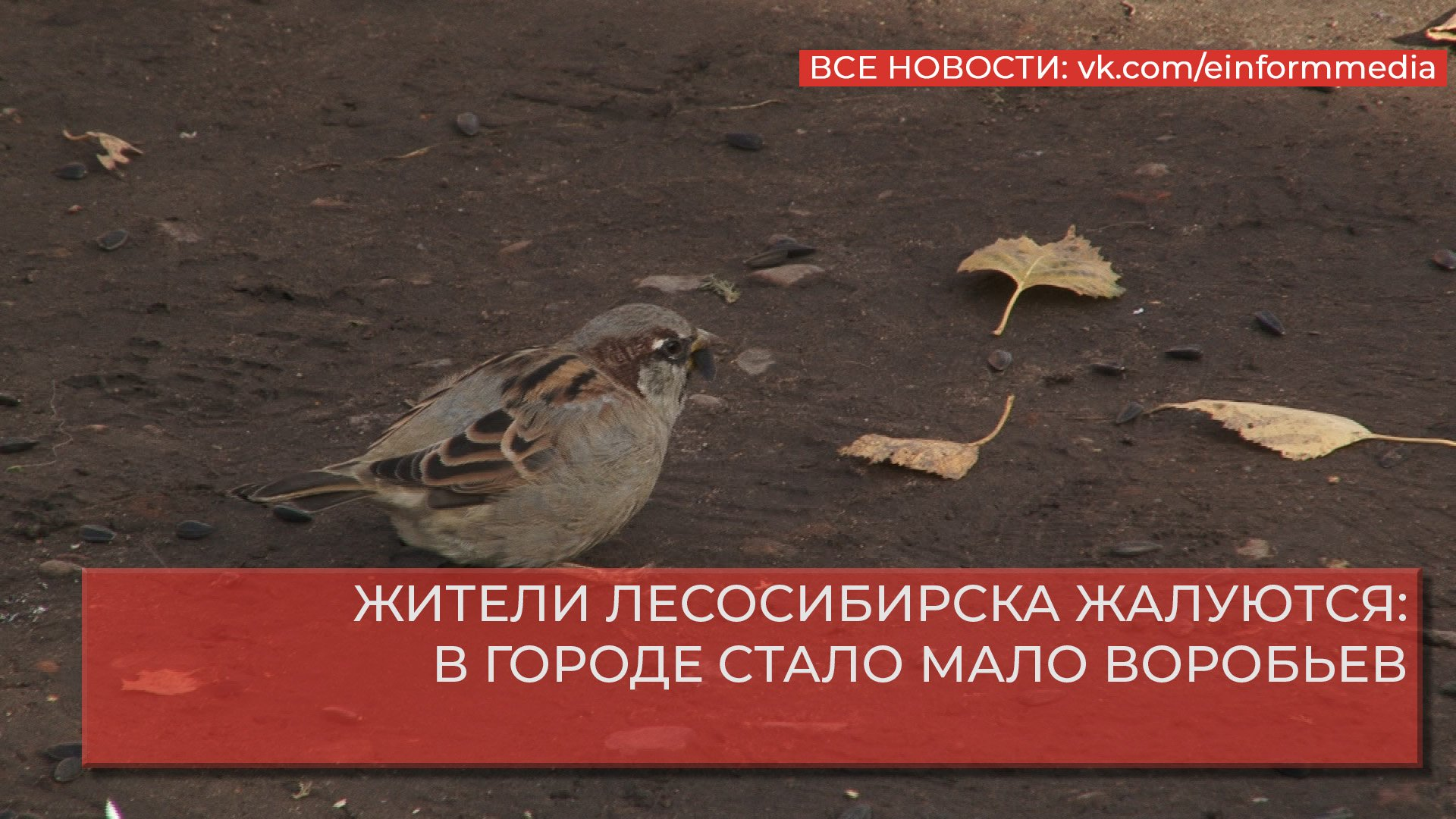 ЖИТЕЛИ ЛЕСОСИБИРСКА ЖАЛУЮТСЯ: В ГОРОДЕ СТАЛО МАЛО ВОРОБЬЕВ.mp4