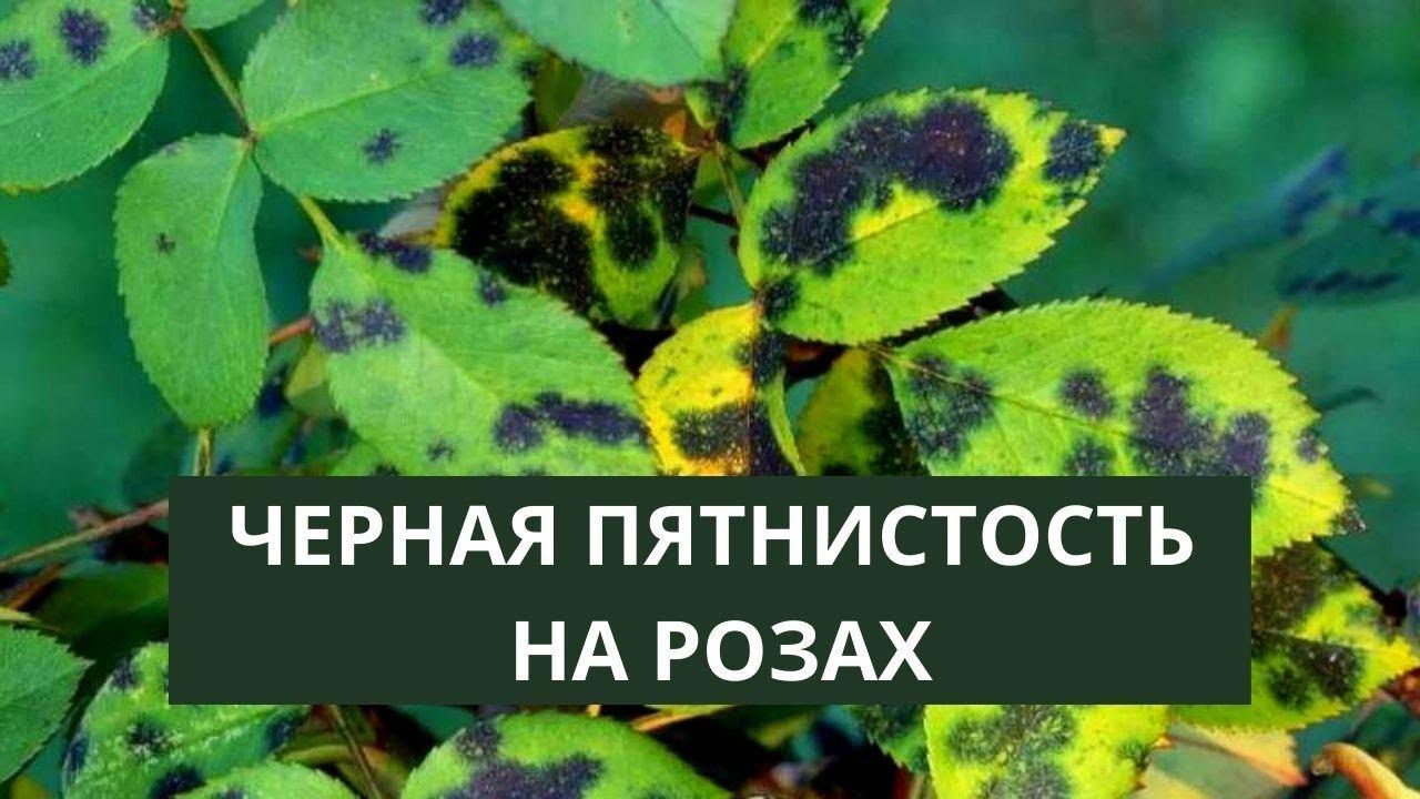БОЛЕЗНИ РОЗ, ПОЯВИЛИСЬ ЧЕРНЫЕ ПЯТНА. Обработка роз от болезней и вредителей