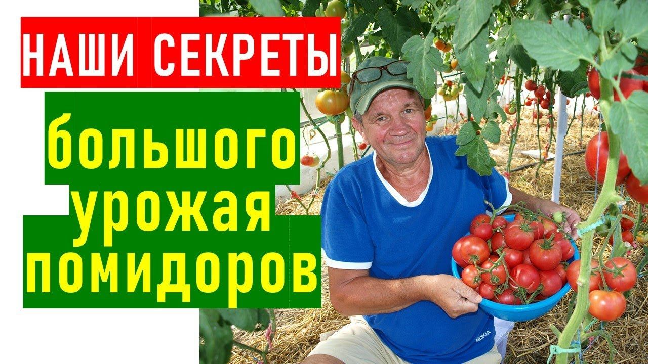 В чем секрет большого урожая помидоров в нашей теплице?