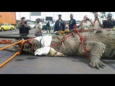 Пойман Самый Большой Крокодил в Мире