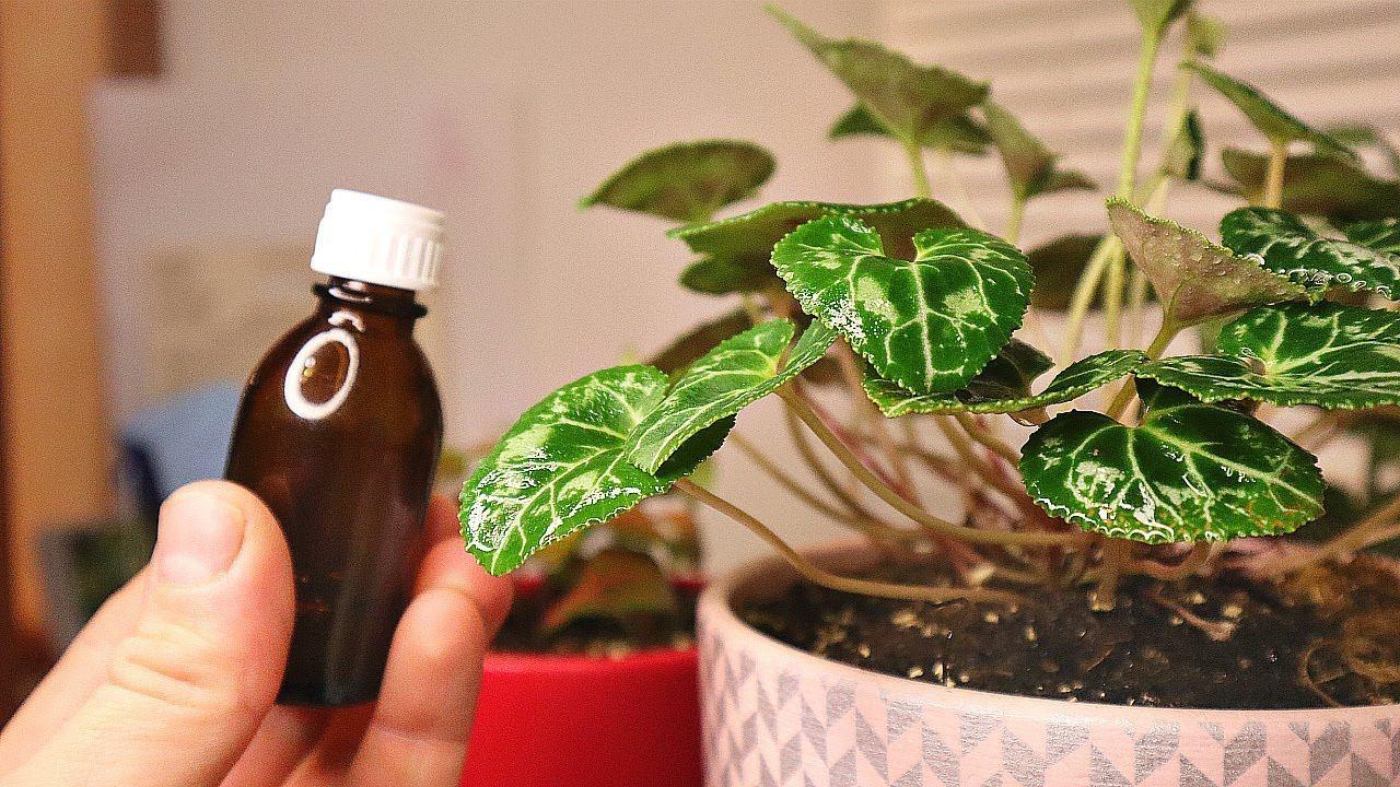 Научилась опрыскивать и проливать фитовермом домашние цветы и растения. Забыла что такое вредители
