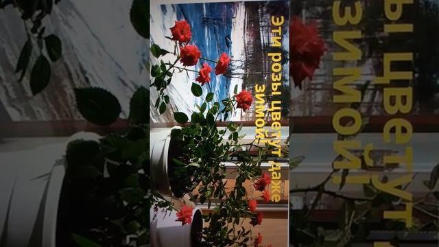 #Shorts Обзор нового товара из интернета - Гибридные королевские розы (147р).